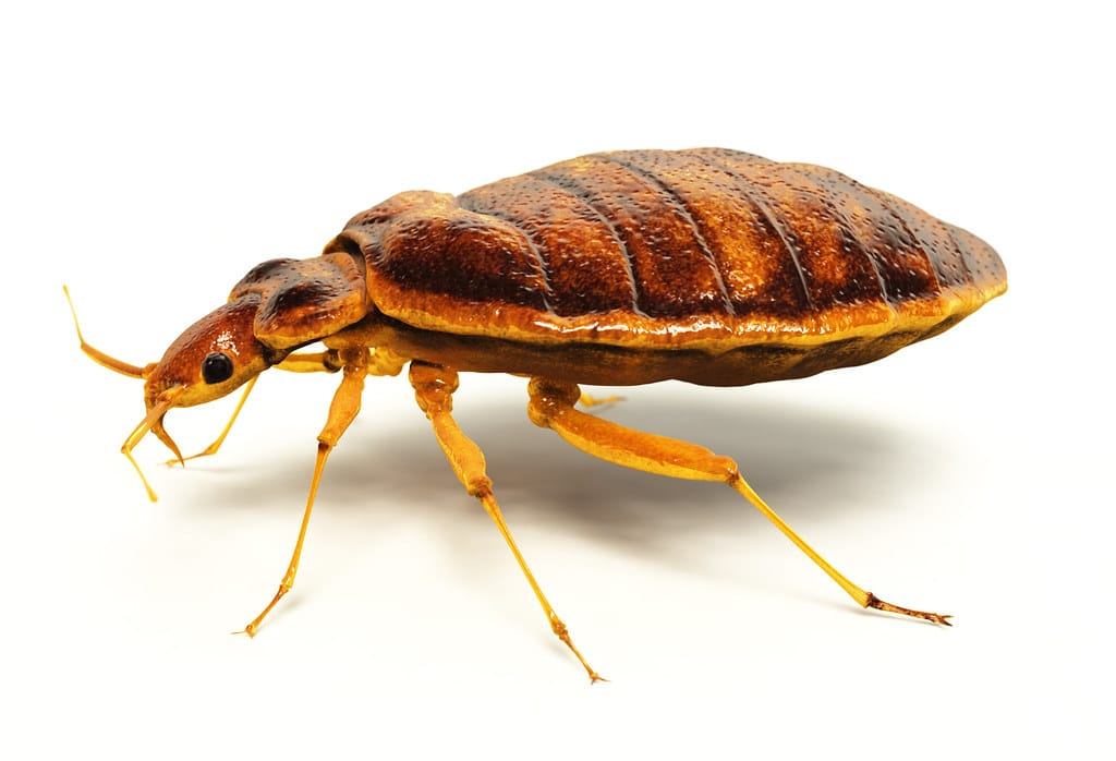 how long do bed bugs live in mattresses